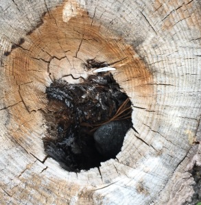 A tree stump with in the center hole